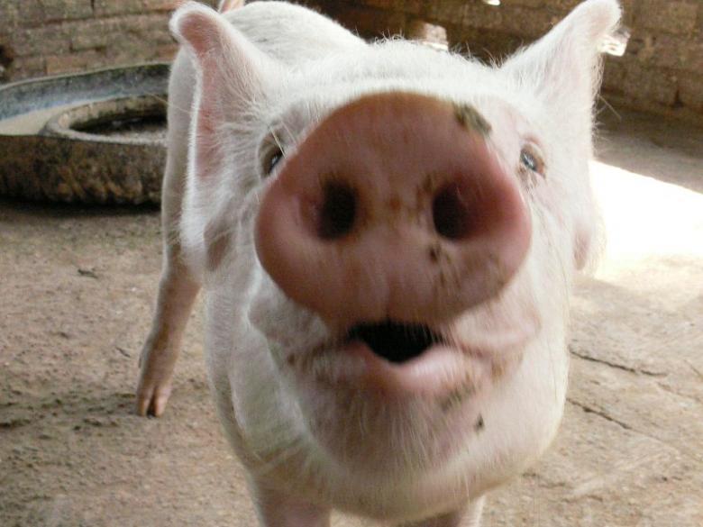 貧しい村落や孤児院に子豚を寄付!子豚ちゃん募金や... 貧しい村落や孤児院に子豚を寄付!子豚ちゃ